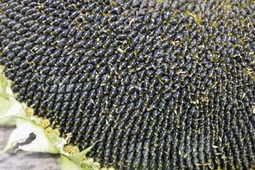 Sunflower-snack2.full