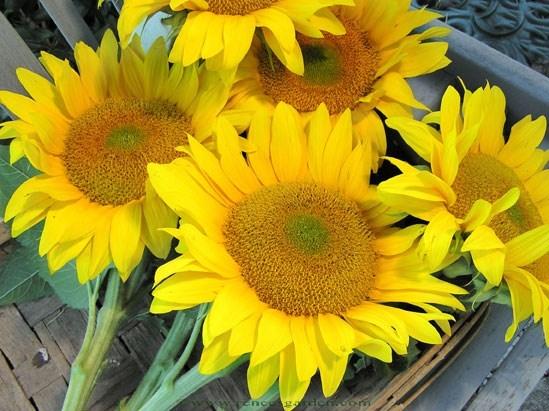 Sunflower-van-gogh1jpg.full