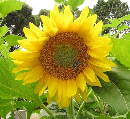 Sunflower-van-gogh-close.full