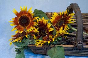 Sunflower-joker2.full