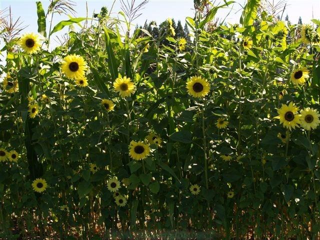 Sunflower-lemonqueen2.full