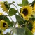 Sunflower-lemonqueen.small