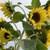 Sunflowers: Helianthus 'Lemon Queen'