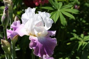 Iris, tall bearded, 'jazzed up'