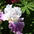 Iris: iris germanica 'jazzed up'