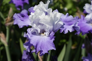 Iris, tall bearded, 'laura buelow'