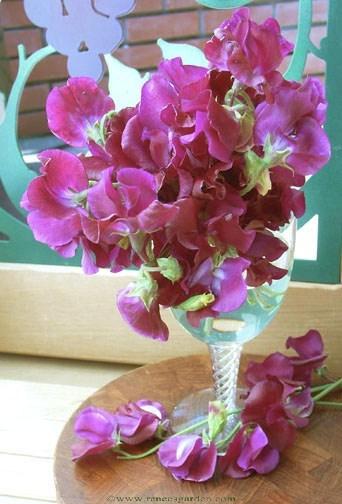 Sweetpea-zinfandel-vase1.full