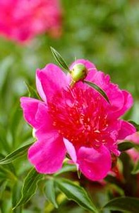 Peony, Japanese 'Madame Butterfly' (Franklin 1933)