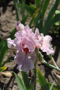Iris, tall bearded, 'maria tormena'