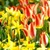 Bulbs_in_drifts_and_clumps.small