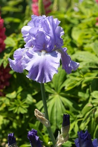 Iris, tall bearded, 'pacific panorama'