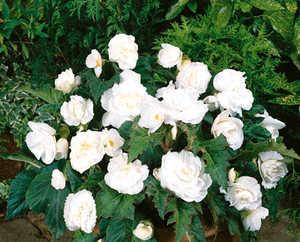 Begonia, New Star White
