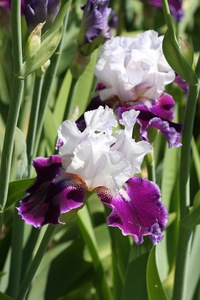 Iris, tall bearded, 'royal snowcap'