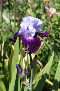 Iris, tall bearded, 'royal storm'