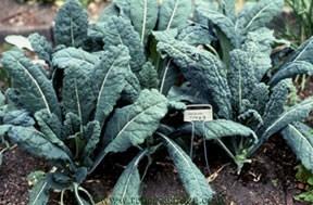Kale-lacinato2.full