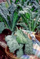 Kale-lacinato.full