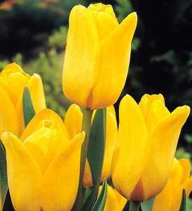 Tulip, Triumph 'Makassar'