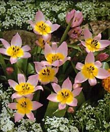 Tulip, Wild Saxatilis