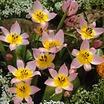 Candia tulip