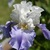 Iris: iris germanica 'stairway to heaven'