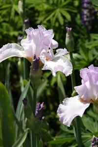 Iris, tall bearded, 'starcrest'
