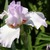 Iris: iris germanica 'starcrest'