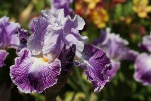 Iris, tall bearded, 'telepathy'