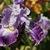 Iris: iris germanica 'telepathy'