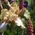 Iris_iris_germanica_toucan_tango-3.small