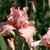 Iris_iris_germanica_unchain_my_heart-2.small