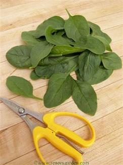 Spinach-catalina1.full