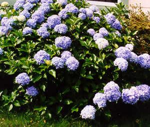Hydrangea, Blue 'Nikko'