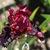 Iris_iris_germanica_wearing_rubies-2.small