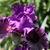 Iris_iris_germanica_who_s_your_daddy-4.small