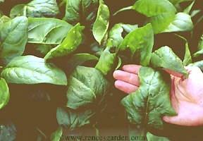 Spinach-summer.full