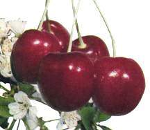 Cherry_prunus_avium_van_sweet_semi-dwarf-1.full