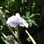 Iris_iris_germanica_willamette_mist-2.small