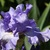 Iris: iris germanica 'yaquina blue'