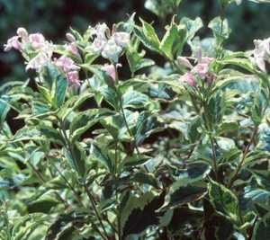Weigela, Variegated