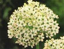 Allium, Black Ornamental