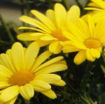 Marguerite Daisy, 'Butterfly'®