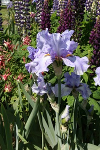 Iris, tall bearded, 'elainealope'