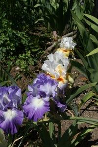 Iris, tall bearded, 'expose'