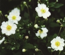 Anemone, Japanese 'Honorine Jobert'
