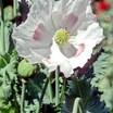 Poppy2.thumb