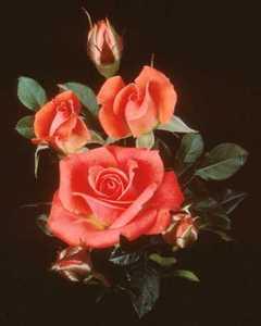 Rose, Miniature 'Starina'