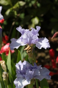 Iris, tall bearded, 'midnight revelry'