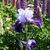 Iris: iris germanica 'millenium falcon'