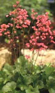 Coral Bells, 'Bressingham Hybrids'