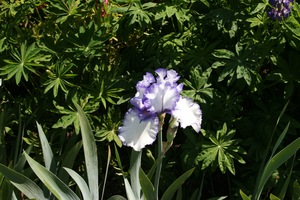 Iris, tall bearded, 'orinoco flow'
